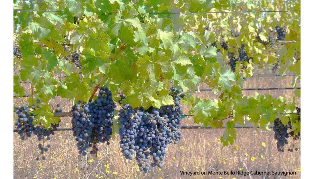 Cabernet Sauvignon, la uva tinta más cultivada del mundo - Cabernet Sauvignon, características de la uva y sus vinos