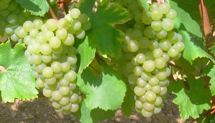 Chardonnay, la uva blanca más cultivada - diccionario de uvas para vinos