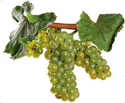 Chardonnay: características de la uva y sus vinos - diccionario de uvas para vinos