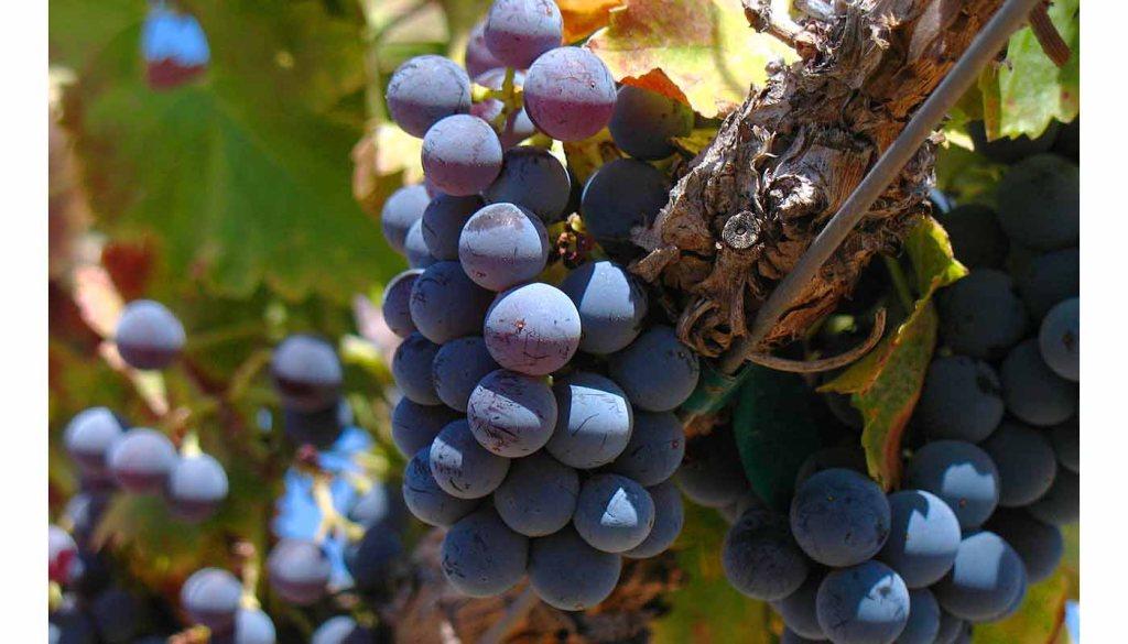 Las diferentes variedades de garnacha y sus vinos