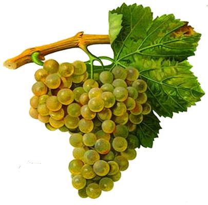 Macabeo o viura: características de la uva y sus vinos - diccionario de uvas para vinos