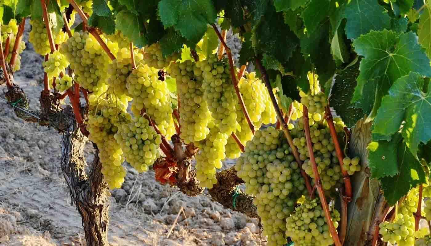 Macabeo o viura: características de la uva y sus vinos