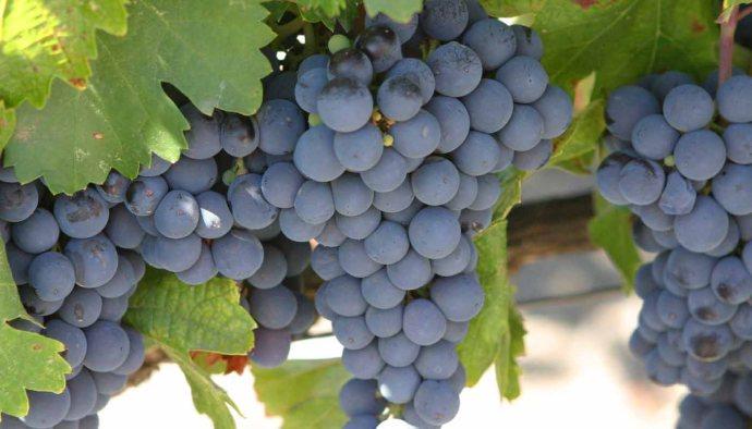 Malbec, potencia de color y frutalidad - diccionario de variedades de uvas para vinos