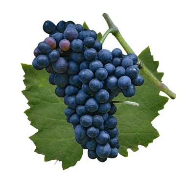 Malbec: características de la uva y sus vinos - diccionario de uvas para vinos