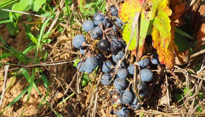 Merlot: característica de la uva y sus vinos - diccionario de uvas