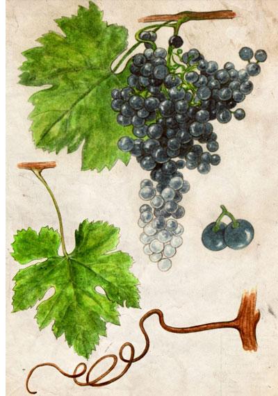 Merlot: características de la uva y sus vinos - diccionario de uvas para vinos