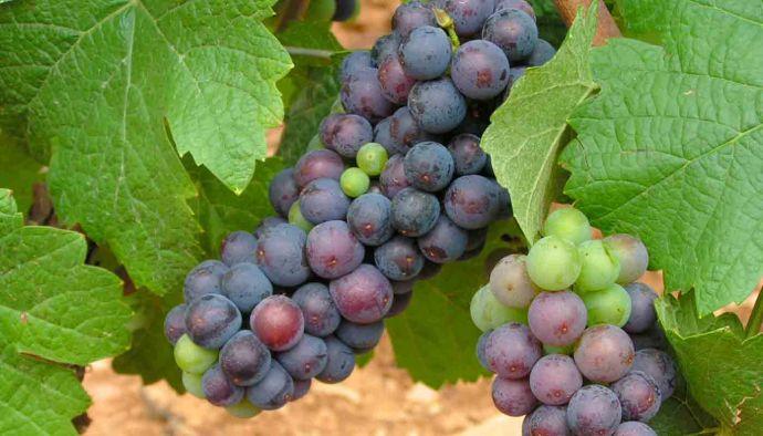 Pinot noir, características de la uva y sus vinos
