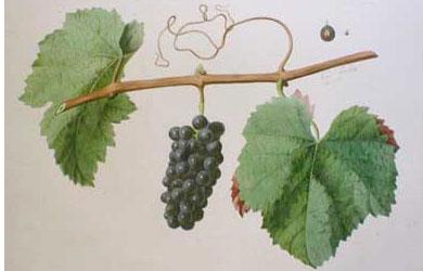 Pinot noir: características de la uva y sus vinos - diccionario de uvas para vinos