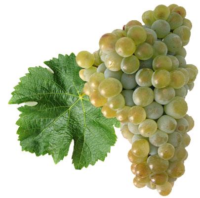 Sauvignon blanc: características de la uva y sus vinos - diccionario de uvas para vinos