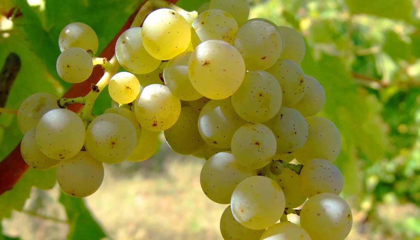 Sauvignon Blanc, características de la uva y sus vinos - diccionario de uvas para vinos