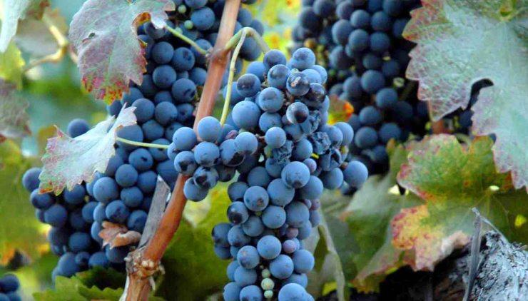 Syrah o shiraz: características de la uva y sus vino - diccionario de uvas para vinos