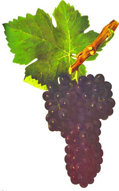 Syrah o shiraz, características de la uva y sus vinos - diccionario de uvas para vinos