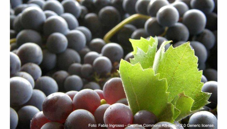 Tempranillo: característica de la uva y sus vinos
