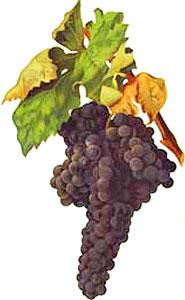 Tempranillo: características de la uva y sus vinos - diccionario de uvas para vinos