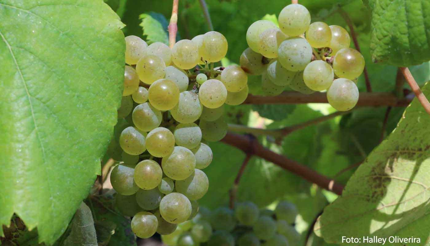 Albariño: características de la uva y sus vinos - diccionario de uvas para vinos