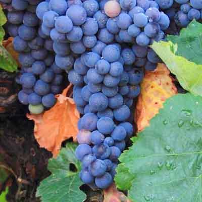 Bobal: características de la uva y sus vinos - diccionario de uvas para vinos