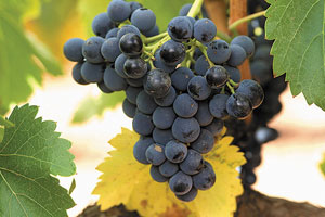 DOP Campo de Borja: tipos de uvas, vinos, bodegas y zona geográfica - vinos de España
