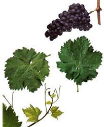 Cariñena, mazuelo, samsó: características de la uva y sus vinos - diccionario de uvas para vinos