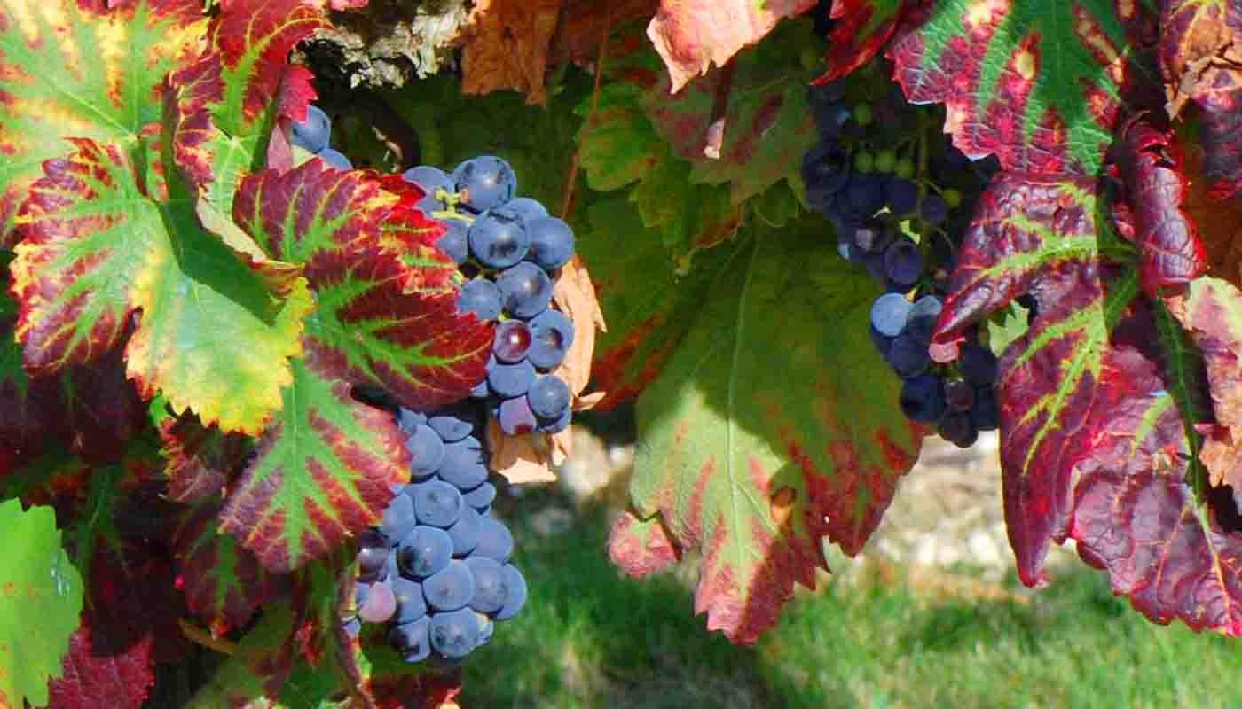 Cariñena, mazuelo o samsó: características de la uva y sus vinos - diccionario de uvas para vinos