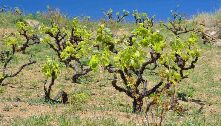 Denominación de Origen Alella: marco geográfico, terruño, tipos de uvas, vinos y bodegas - enoturismo
