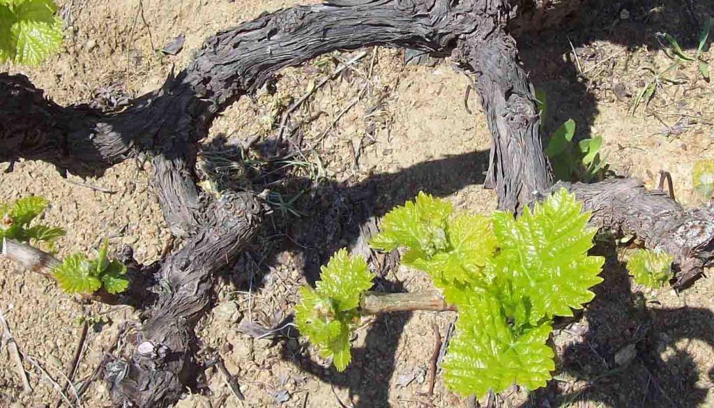 Denominacion de origen Cigales - vinos de España - vinos de Castilla Leon