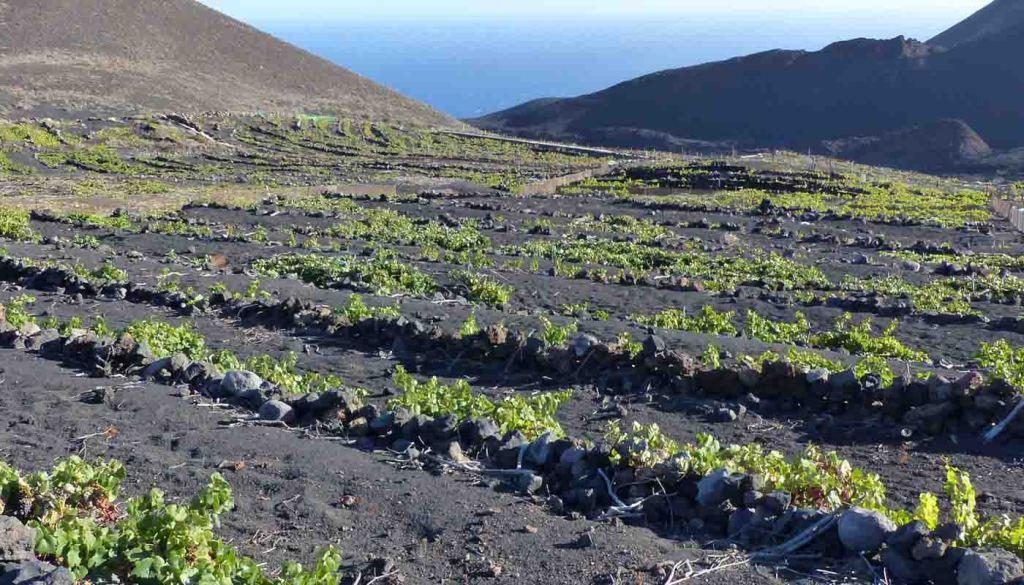 Denominacion de origen La Palma - vinos de España - vinos de las Islas Canarias