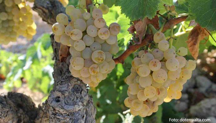 Denominación de origen Terra Alta: tipos de uvas, vinos, bodegas y marco geográfico - vinos de España - vinos de cataluña