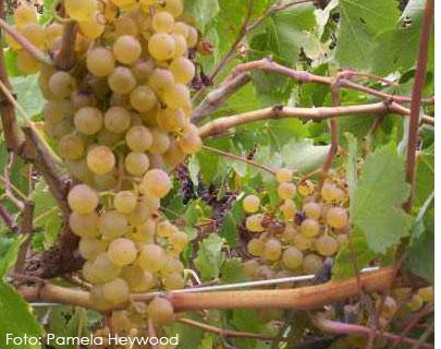 Listán blanco: características de la uva y sus vinos - diccionario de uvas para vinos