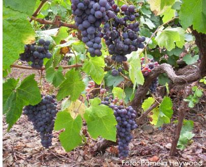 Listán negro: características de la uva y sus vinos - diccionario de uvas para vinos
