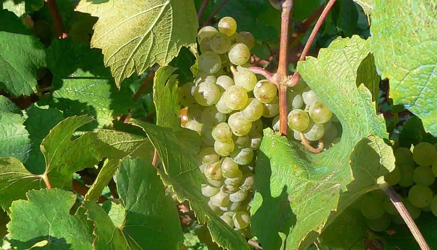 Malvasía, una de las uvas más antiguas del Mediterráneo - diccionario de variedades de uvas para vinos