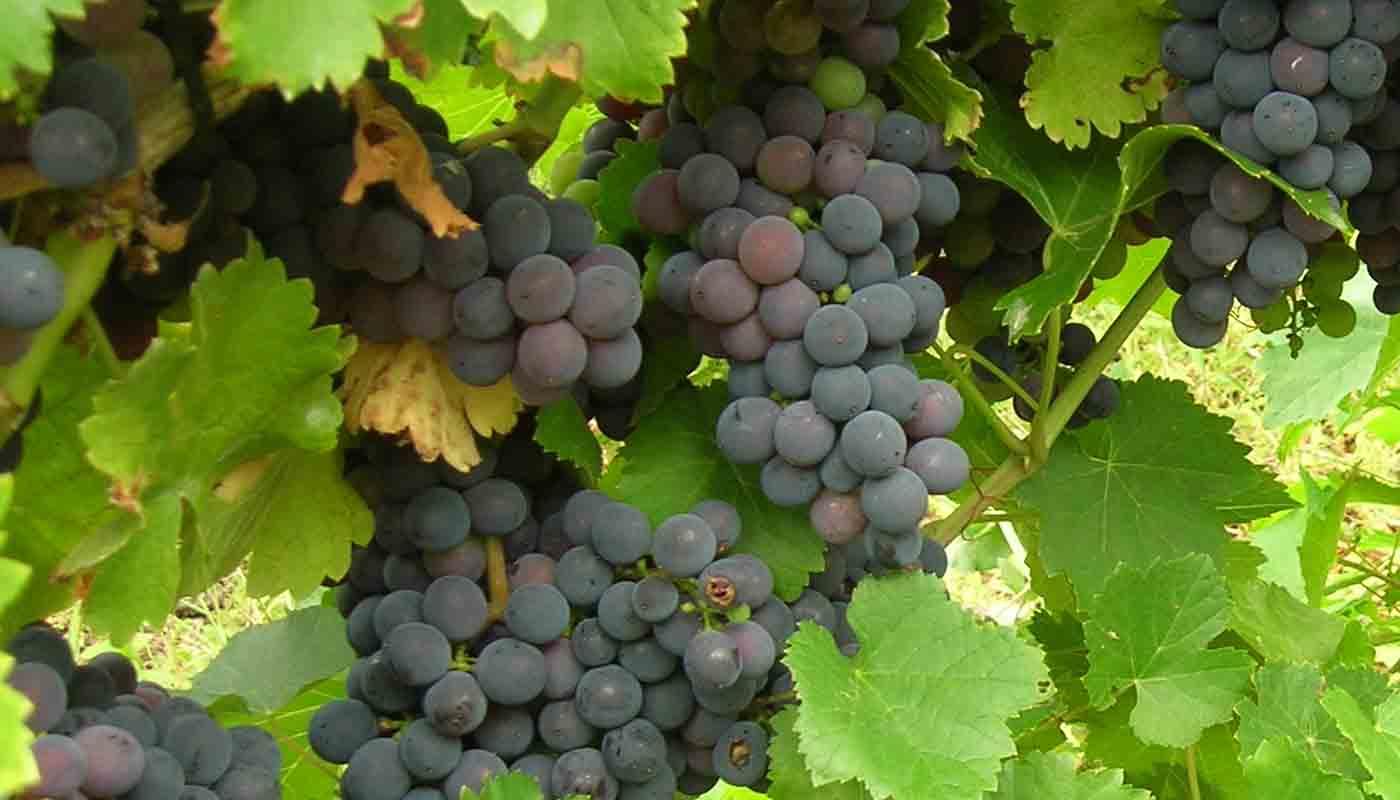 Mencía, características de la uva y sus vinos