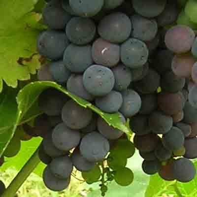 Mencía: características de la uva y sus vinos - diccionario de uvas para vinos