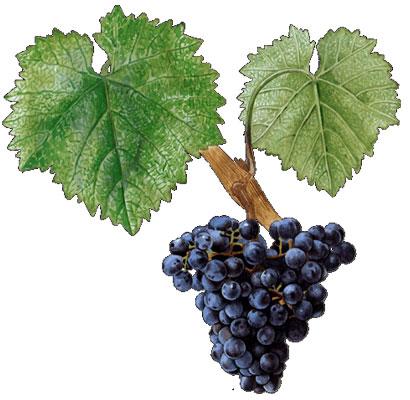 Monastrell: características de la uva y sus vinos - diccionario de uvas para vinos