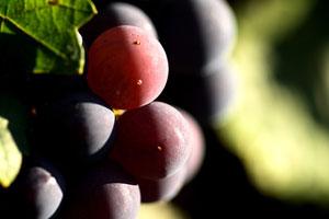 Denominación de origen de vinos Penedes - vinos de España - vinos de Catalunya