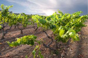 Denominación de origen de vinos Tarragona - vinos de España - vinos de Catalunya