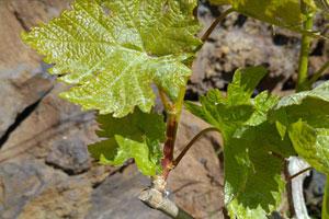 DOP Valle de Güímar: tipos de uvas, vinos, bodegas y zona geográfica - vinos de España