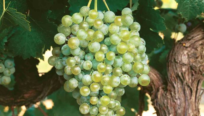 Verdejo: características de la uva y sus vinos - diccionario de uvas para vinos