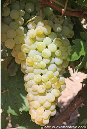 Airén, forcallada, lairén: características de la uva y sus vinos - diccionario de uvas para vinos