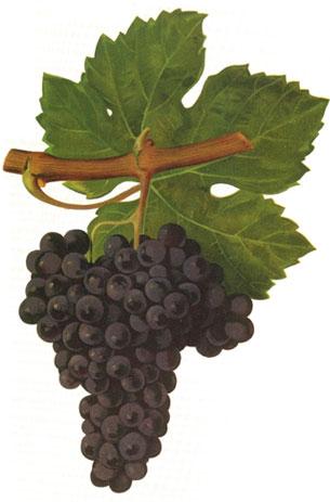 Cabernet Franc: características de la uva y sus vinos - diccionario de uvas para vinos
