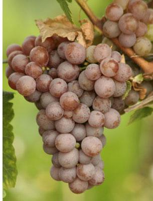 Gewürztraminer: características de la uva y sus vinos - diccionario de uvas para vinos