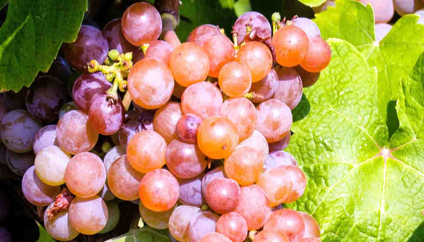 Gewürztraminer, uva rosada para vinos dorados - diccionario de variedades de uvas para vinos