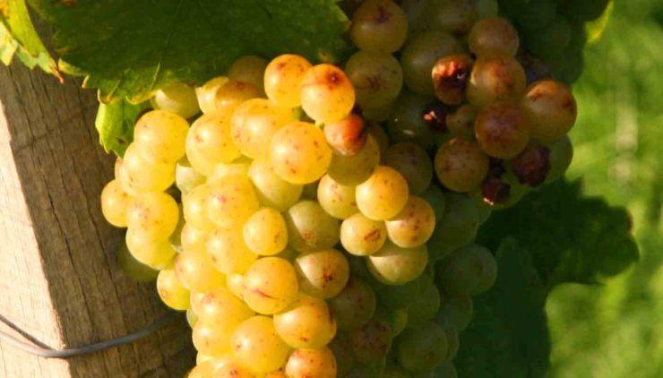 Moscatel: características de la uva y sus vinos - diccionario de uvas para vinos