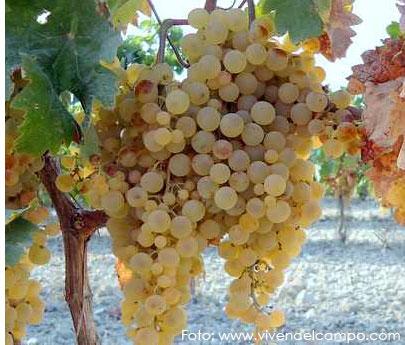 Palomino: características de la uva y sus vinos - diccionario de uvas para vinos