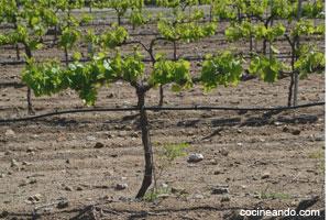 El cultivo de la vid: parrales