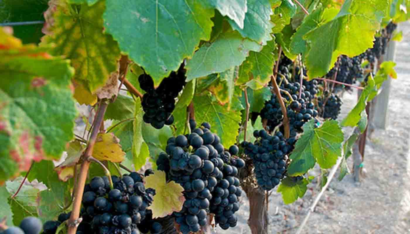 Petit verdot: características de la uva y sus vinos - diccionario de uvas para vinos