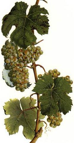 Riesling: características de la uva y sus vinos - diccionario de uvas para vinos