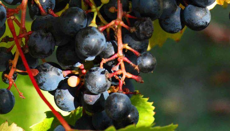 Tannat: características de la uva y sus vinos - diccionario de uvas para vinos