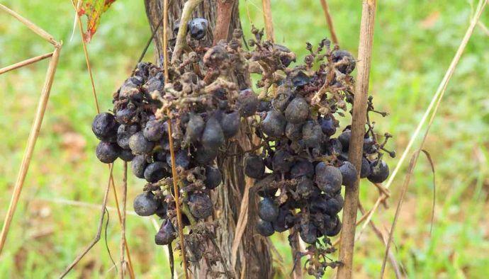 ¿Qué son los vinos de podedumbre noble o vinos botritizados? - tipos de vinos