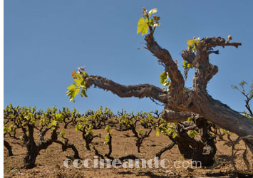Diferencias entre vinos ecológicos y vinos naturales
