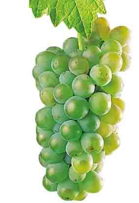 Godello: características de la uva y sus vinos - diccionario de uvas para vinos